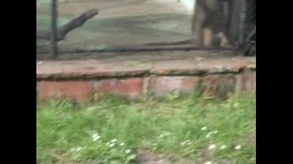 Маймунката полудя