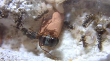 Мравки Formica cunicularia в Ytong гнездо.