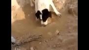 Куче погребва малкото си .