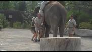 Човек се качва на слон, смях