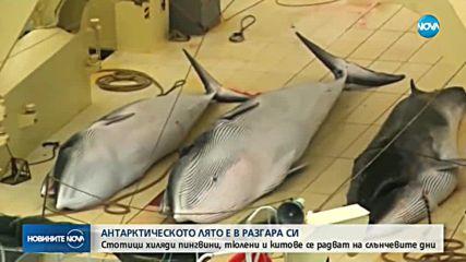 Сблъсъци между китоловци и еколози: Застрашени ли са животните на Антарктида?
