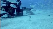 Смел водолаз гали тигрова акула