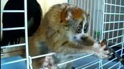 Животинчето,  което всички мислят за Лемур:казва се Slow loris