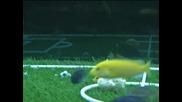 ribi igraiat futbol