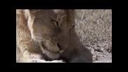 The Great Migration - Ndutu Lions