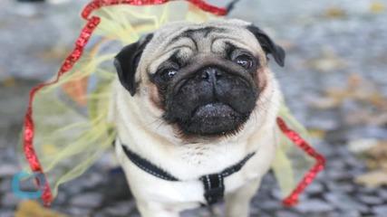 Canine Flu Outbreak: How Can I Keep My Dog Safe?