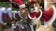 МЪРКАЩ ДЯДО КОЛЕДА: Стопанин облича котките си с коледни костюми