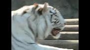 Белият тигър