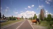 Руснак блъсна крави, правещи Любов