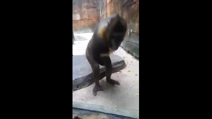 Маймуна се самозадоволява и си облизва пръстите
