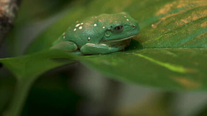 UK: Rare Mexican leaf frogs hatch for first time in European zoo