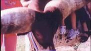 Най - големите рога - супер кравата Лърч