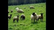 Тъпа Овца