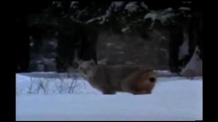 Дивият живот на красивият банф ; The Wildlife of Beautiful Banff, Canada