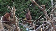 Germany: Hamburg Zoo orangutans  celebrate Halloween with pumpkin feast