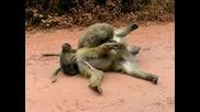 тази маймуна ще ви убие