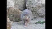 Любопитна дива котка