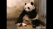 Смях! Бебе Панда Плаши до Смърт Майка си !