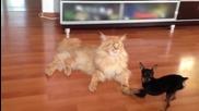Досаден Пинчер се закача с Котка