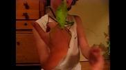 Женско heteropteryx dilatata