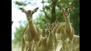 Whiskas - Гладна Котка Напада Антилопи