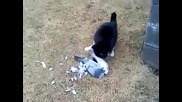 Котка яде гълъб, а той полуизяден бяга