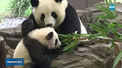 Показаха пандите от берлинския зоопарк за първи път пред публика