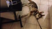 (смях) Най - мързеливото куче на света