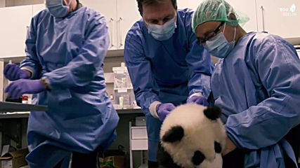 Twin panda cubs get chipped and checked before 1st public outing at Berlin Zoo