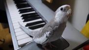 Музикален папагал