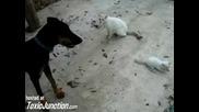 Котка защитава бебе коте от доберман