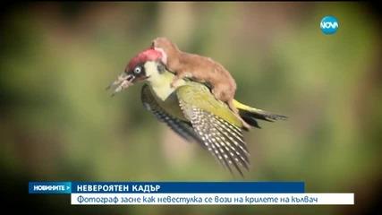 Невероятно! Невестулка се вози на крилете на кълвач!