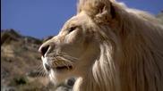 Сладко бяло лъвче