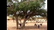 Стадо от кози необичайно пасат по клоните на голямо дърво !