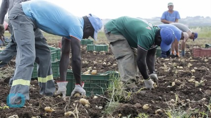 Migrants Toil on Italian Farms to Put Food on European Tables