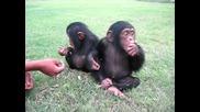 Малки Маймунчета(шимпанзе)