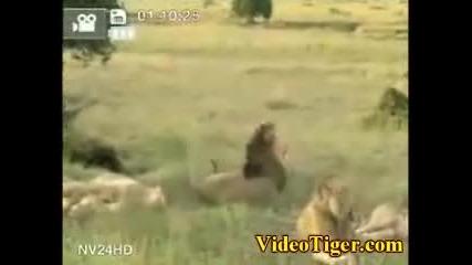 !!!уникално!!!пеещи Лъвове