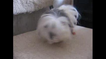 Tопчо - Най - Сладкото Морско Свинче!!!