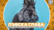 Лъвска глава: едни от най-милите и пухкави декоративни зайчета