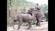 Туристка Става Свидетел От Близо На Секс между слонове Дзъма