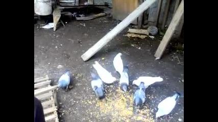 Гълаби