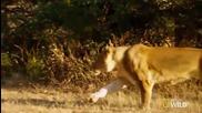Бързотичатщи Лъвове изследва се всеки етап от тяхната скорост, докато при преследването на плячката