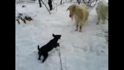 yagdterier vs koza
