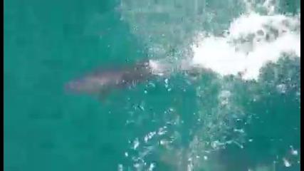 Черноморски Делфини си играят пред носа на кораб