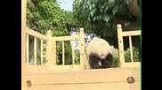 Сладки панди си играят на пързалката хихи ..