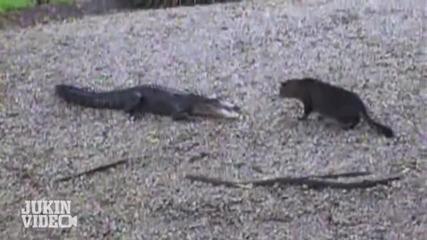 Домашна котка напада алигатор
