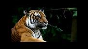 Последен шанс да спасим дивия тигър!