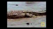 Крокодил в действие
