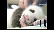 Определиха пола на бебето панда в зоопарка в Сан Диего