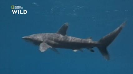 Океанската беловърха акула